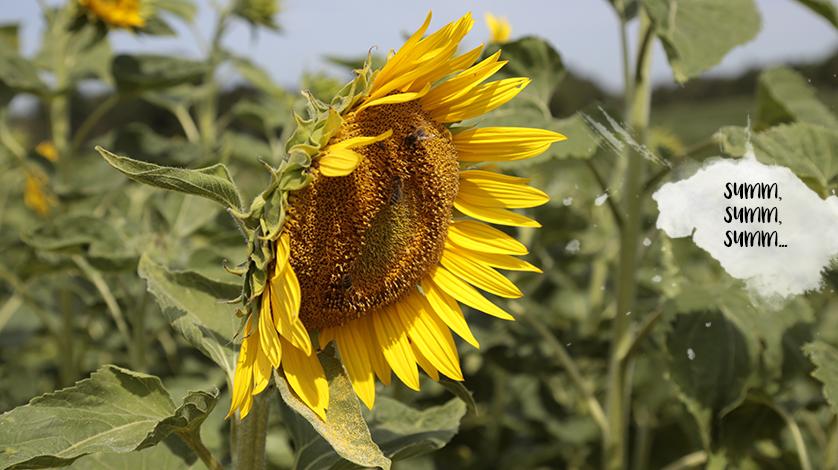 Sommergrüße unserer einzigartig Bienen